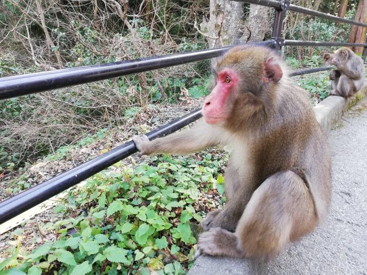 Japanese Monkey Mountain,Beppu